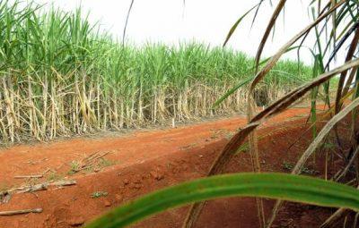 cana de acucar 400x255 - Artigo: Presença de pragas pode potencializar quebra na safra de cana