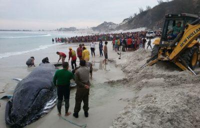 baleia 400x255 - Mutirão consegue devolver ao mar baleia que encalhou na Região dos Lagos