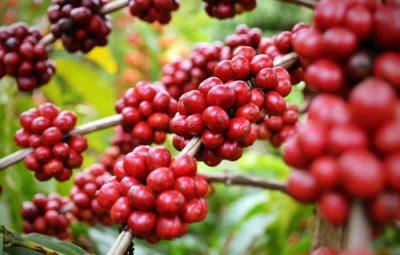 cafe 400x255 - Exportações de Conilon e Solúvel Capixabas batem recorde histórico