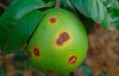 pragas 400x255 - Prefeitura promove palestras sobre pragas e doenças de citros