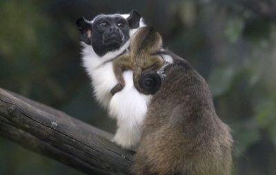 Primata ameaçado de extinção nasce no Zoológico de Brasília 400x255 - Primata ameaçado de extinção nasce no Zoológico de Brasília