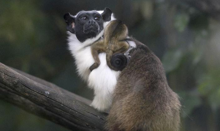Primata ameaçado de extinção nasce no Zoológico de Brasília