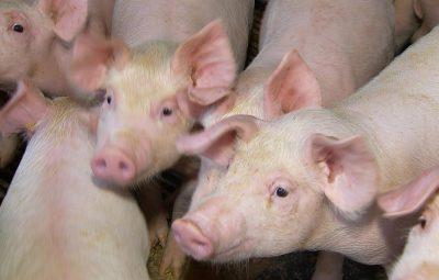 suino 400x255 - Ministério promove ação para evitar entrada da peste suína no país